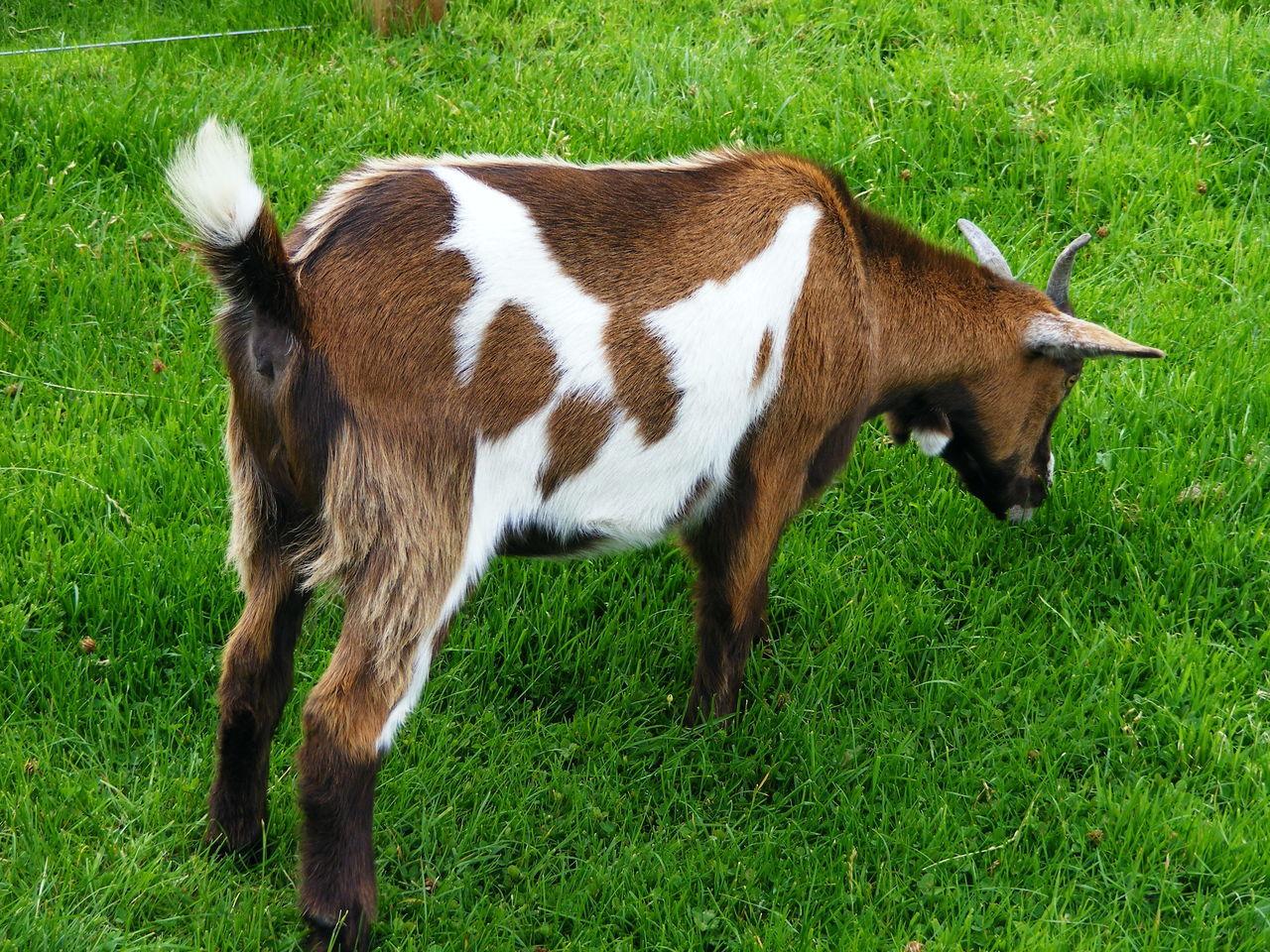 Goat Grazing On Grassy Field