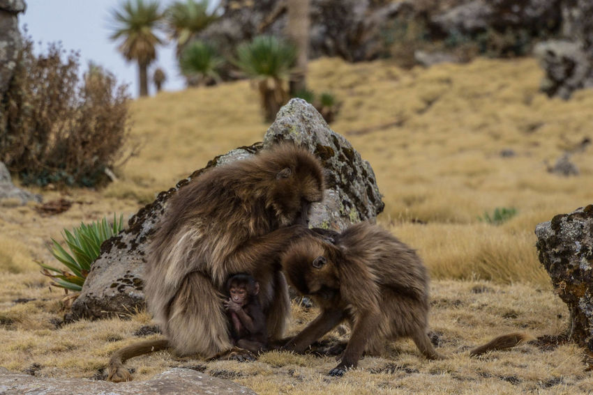 chelada baboon in simien mountains national park Ethiopia Baboon Sand Water Desert African Elephant Beach Safari Animals