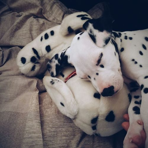 High Angle View Of Dalmatian Sleeping With Toy At Home