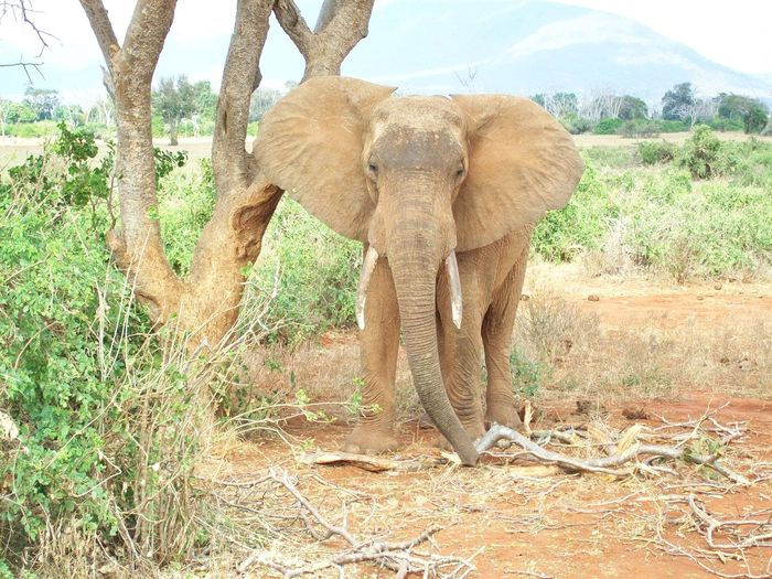 African Elephant Animal Themes Animal Trunk Animal Wildlife Animals In The Wild Day Elephant Grass Mammal Nature No People One Animal Outdoors Sky Tree Tusk