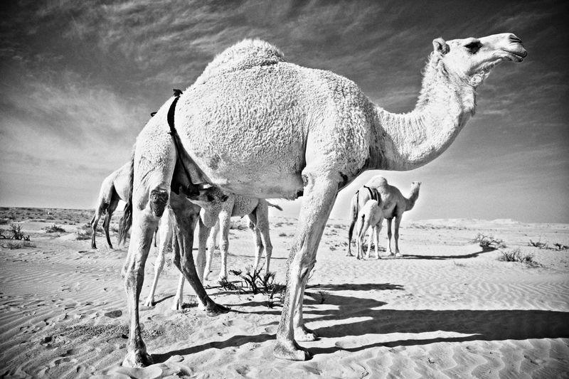 Camel Mammal