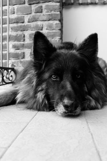 Black & White Maya Blackandwhite Photography Black And White Pets Domestic Animals Domestic Mammal One Animal Dog Canine No People Relaxation