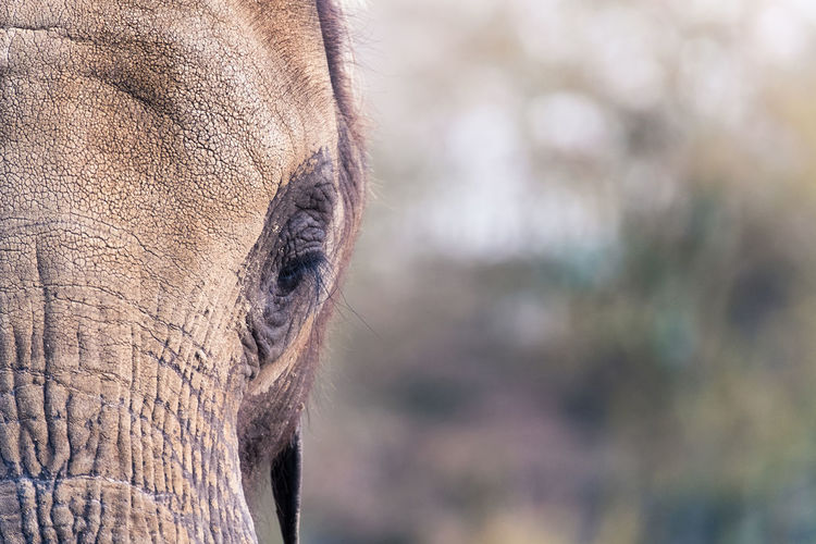 Animal Body Part Animal Eye Animal Nose Animal Themes Animals In Captivity Brown Close-up Copy Space Day Elephant Focus On Foreground Gray Indian Elephant Mammal Nature No People One Animal Outdoors Sad Tierpark Berlin Zoology
