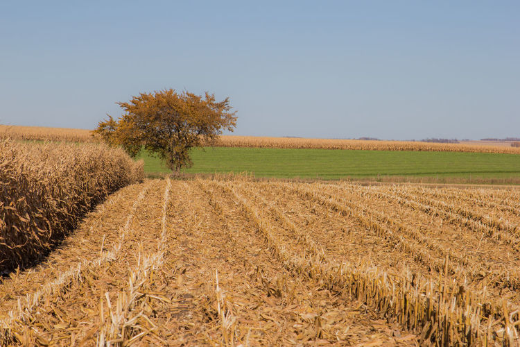 Corn field. Autumn Corn Stalk Farm Rolling Hills Agriculture Canon60d Canonphotography Clear Sky Corn Crop  Day Fall Field Harvest Landscape Leaf Outdoors Row Rural Scene Tree