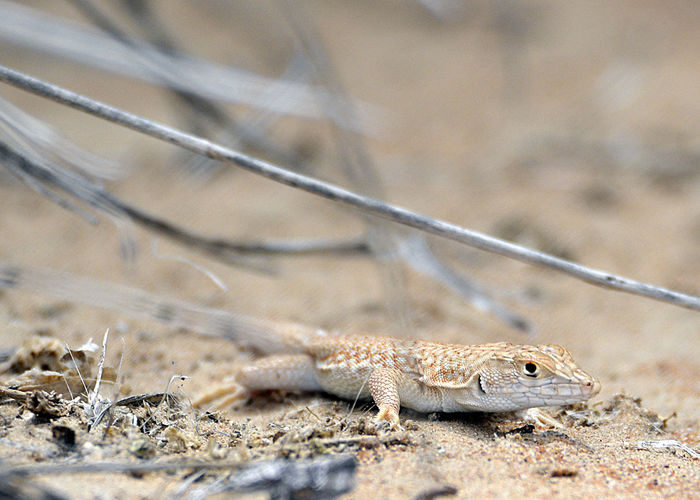 Close-Up Of Fringe-Toed Lizard On Sand