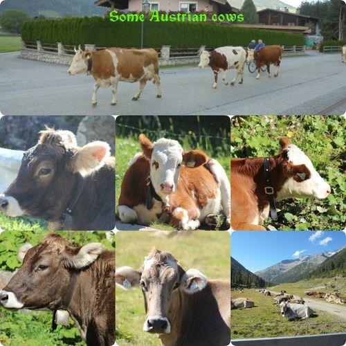IloveZillertal Iloveaustria Cows!!! Lovelynatureshots Animals Animalposing Eyeemnaturelover💕💕😊☺ Domestic Animals Noedit