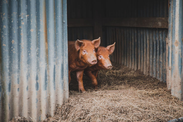 Mammal Animal Pets Animal Themes Domestic Domestic Animals One Animal Vertebrate Looking At Camera Livestock Portrait No People Day Pig Standing Young Animal Farm Outdoors Wood - Material Barn Stable Herbivorous