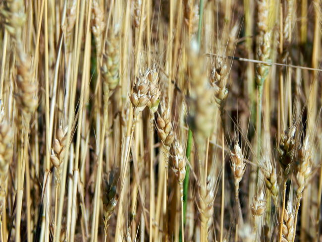 Wheat field texture of hay Hay, Field, Texture, Straw, Wheat, Background, Bale, Grass, Dry, Plant, Crop, Summer, Cereal, Yellow, Nature, Agriculture, Pattern, Haystack, Gold, Rural, Farm, Golden, Abstract, Closeup, Land