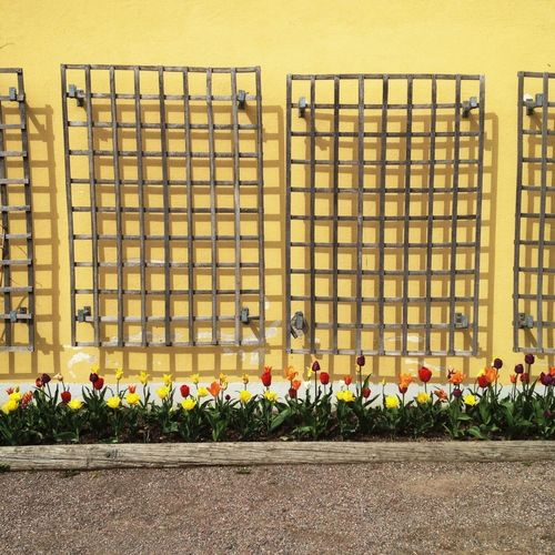 Tulips Blooming By Sidewalk Against Metal Grate On Yellow Wall