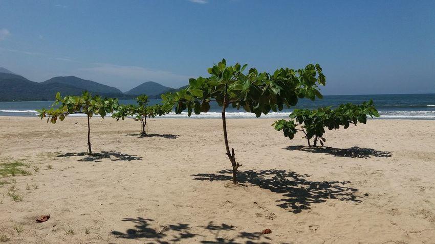 Árvores em crescimento na praia Perequê Açu em Ubatuba SP, Brasil Ubatuba - Litoral Norte - SP Perequê Açu Areia Sol Dia Ensolarado Praia árvorez Chapéu De Praia