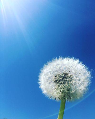 タンポポ Plant Blue Flower Beauty In Nature Close-up Vulnerability  Fragility