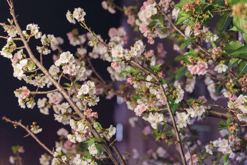 A7r2 Flower Night Nihgt Sakura Sony Sonyalpha Taking Photos