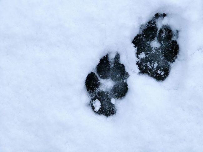 Puppy play Play Cute Footprints Snow FootPrintsInTheSnow Dog Pets Labradoodle Nature Weather Blackandwhite Scotland Spring Fun Puppy