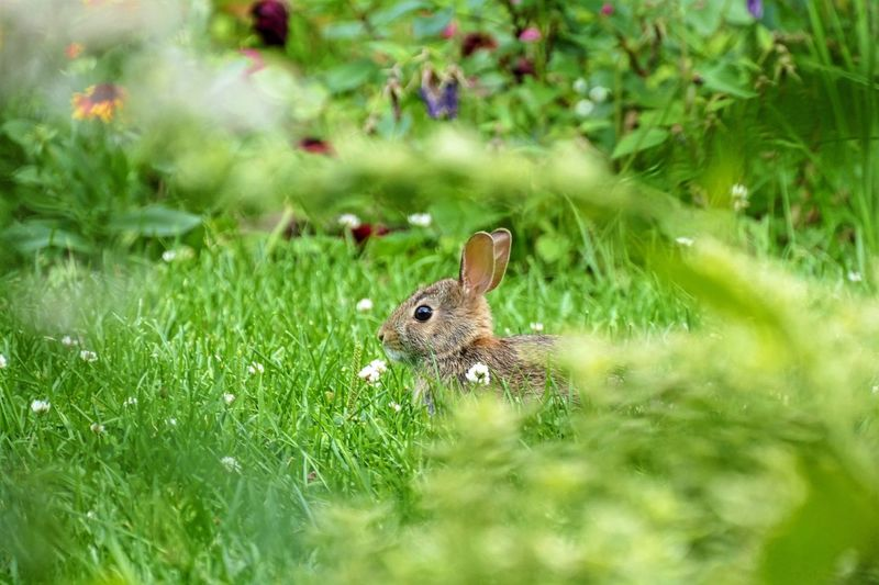Hare Relaxing On Grassy Field
