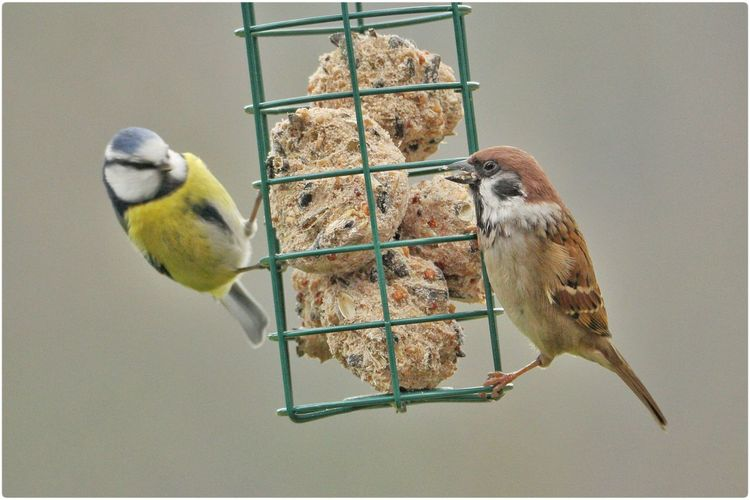 Close-up of sparrow and blue tit on bird feeder