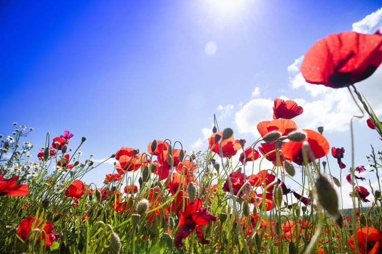 Poppy Red Nature Flower Meadow Colored Plant Landscape Garden Rural Countryside Beautiful Wild Spring Season  Flora Petal Botanical Bloom Flowering Plant Beauty In Nature Fragility No People Outdoors Flower Head Inflorescence