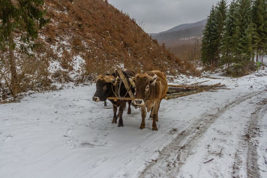 Carpathian Mountains Maramures Romania Animal Themes Beauty In Nature Cold Temperature Cow Day Domestic Animals Forest Highland Cattle Landscape Livestock Maramures Roumanie Mountain Nature No People Outdoors Oxen Snow Standing Weather Winter Shades Of Winter