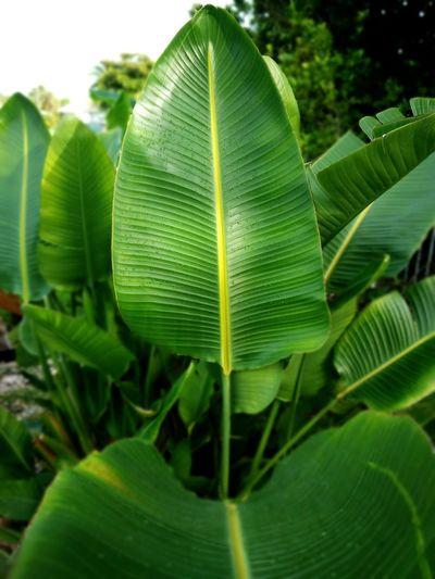 Tree Banana Tree Leaf Tea Crop Agriculture Banana Leaf Close-up Green Color Plant Leaf Vein Palm Leaf Leaves Palm Tree Frond Lush Foliage Tropical Tree
