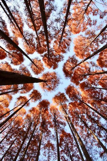 Low angle view of trees in forest against sky during autumn
