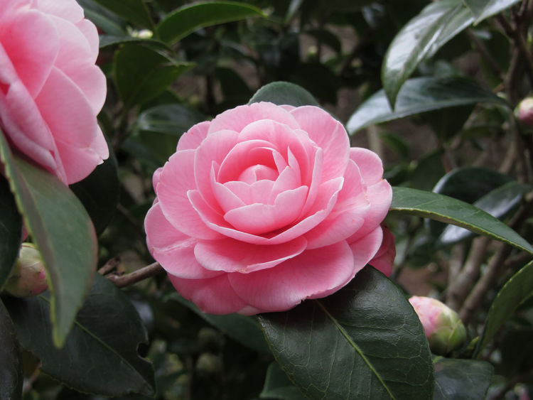 Ancient japanese cultivar of pink Camellia japonica flower known as Otome Tsubaki Ancient Anniversary Birthday Bloom Blooming Blossom Bush Camelia Camellia Celebration Cultivar Decorative Flower Garden Japanese  Japonica Ornamental Otome Petal Pink Romantic Spring Theaceae Tsubaki Wedding