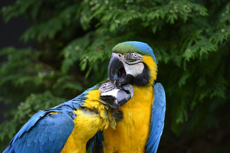 Close-up of two gold and blue macaws