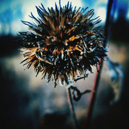 Winter's edge. Spiky Ball Plant Life Plants 🌱 Getting Inspired Micro World  Touch
