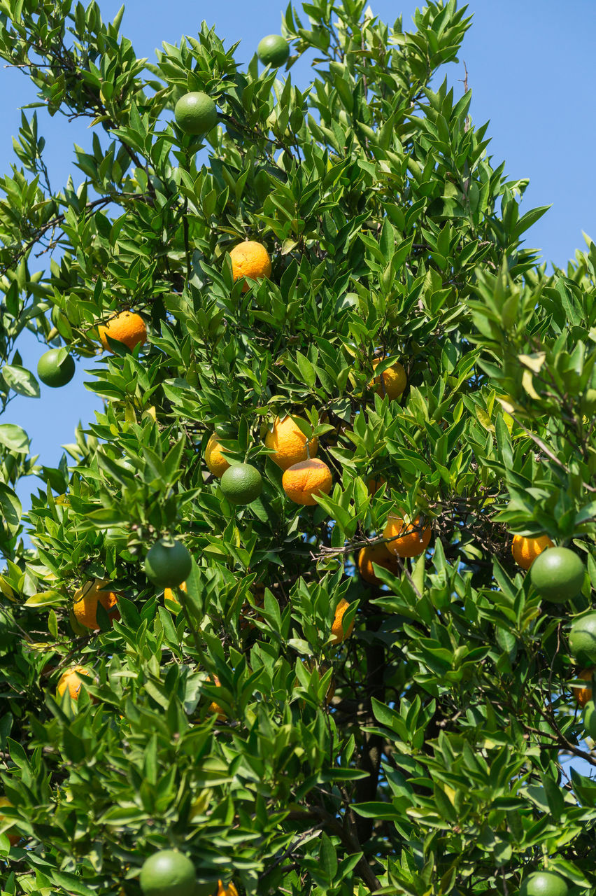 fruit, orange - fruit, citrus fruit, orange tree, food and drink, tree, growth, orange color, leaf, freshness, green color, food, healthy eating, day, low angle view, no people, agriculture, outdoors, nature, beauty in nature