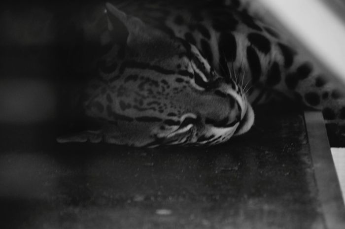 Ocelot: Do Not Disturb i am Working Hard while Sleeping Cahuita Wildlife Refuge Costa Rica Monochrome (c) 2015 Shangita Bose All Rights Reserved Snbcr Nature's Diversities Night Night, Sleep Tight Natural Light Portrait