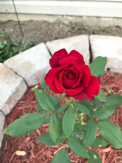 New red rose 🌹