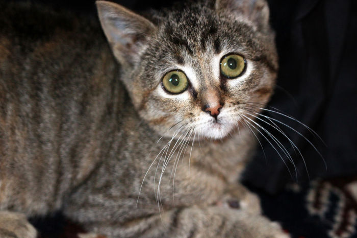 Beenie Cat Cute Cat 😻 Animal Themes Close-up Domestic Animals Domestic Cat Feline Indoors  Kitten Looking At Camera Mammal No People One Animal Pets Portrait Tabby Cat
