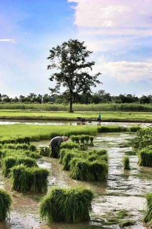 Thailand Rice Field Offline