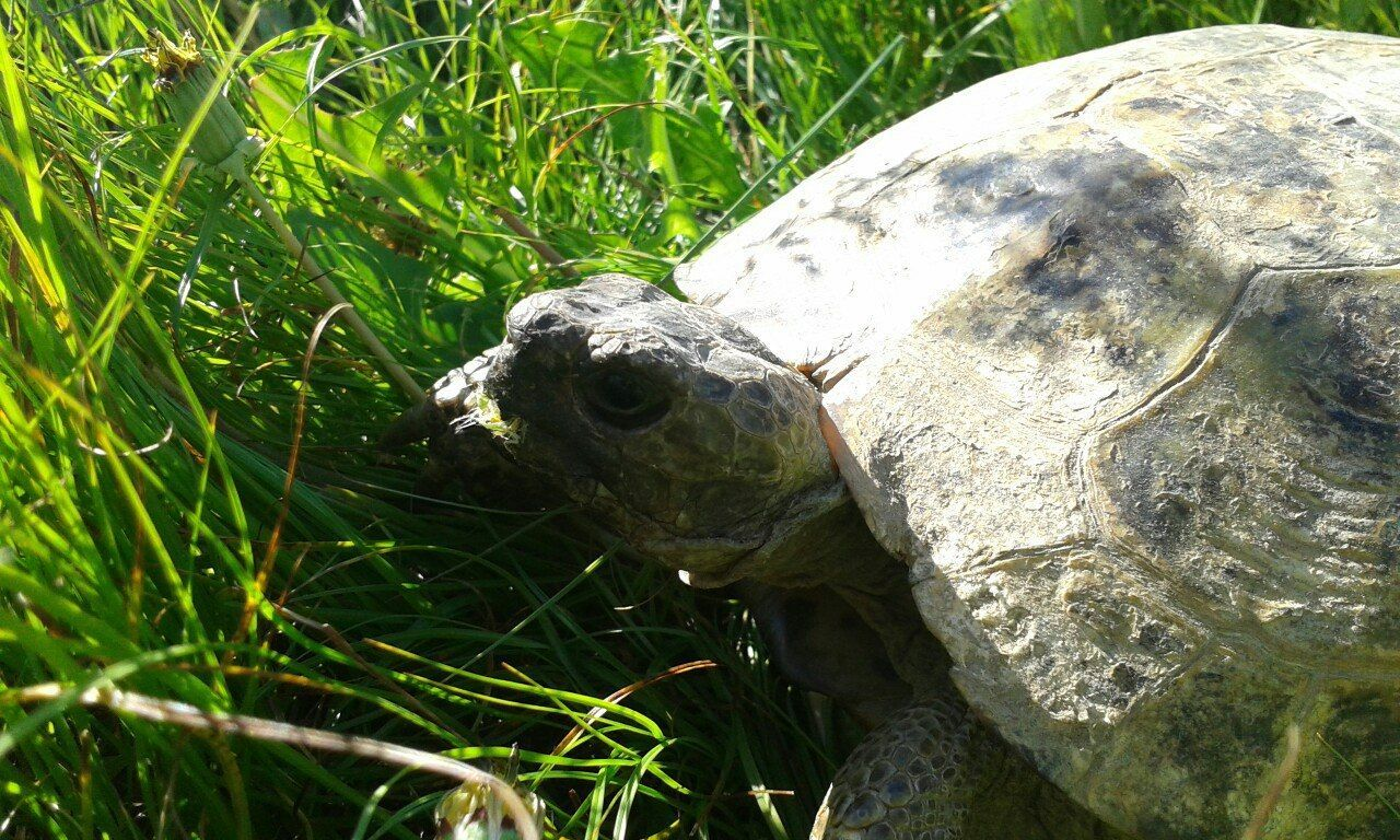 one animal, reptile, animal themes, animals in the wild, tortoise, high angle view, grass, day, animal wildlife, outdoors, nature, no people, tortoise shell, close-up, mammal