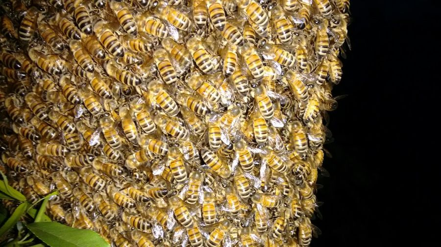 Abejas , Bee Ape Biene Biene 🐝 Bees Apes Enjambre Swarm Sciame