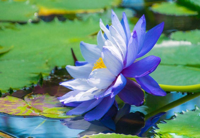 Water Lily Nature Photography Flower Collection EyeEm Nature Lover Flowerlovers Leafs Photography Beautiful View Japan Photography Nature Is Art 睡蓮 蓮 スイレン Enjoying Life Flowerporn Garden 睡蓮がキレイな季節✨しかし、睡蓮は涼し気に咲いてますが、外はめっちゃ暑いですね~(^▽^;)