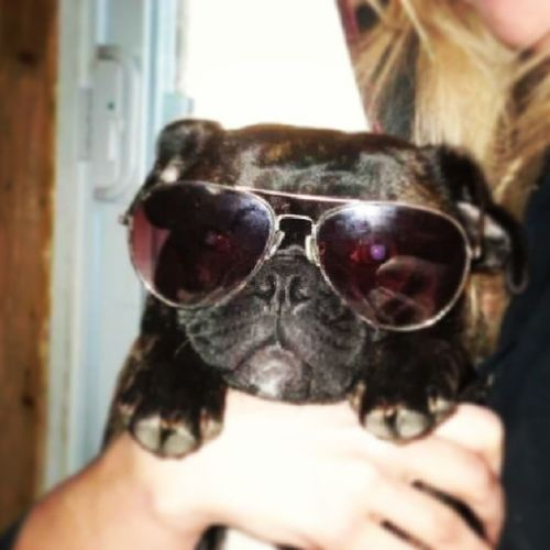 Shes got her mamas style Class Bulliesrock Bulliesforlife Dogsofinstagram aviators toofunny adorable cantgetenough obsessed