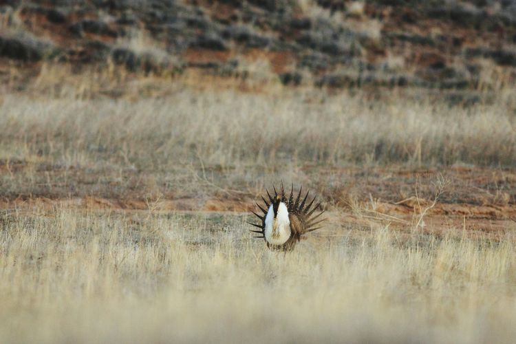 Greater sage-grouse perching on grassy field
