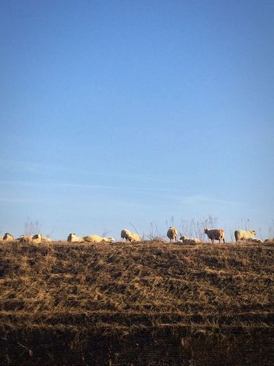 Landscape No People Autumn Sheep Field Sky Blue Sky Copy Space Hay Blue Yellow Blue Yellow Contrast Outdoors Agriculture Nature Beauty In Nature Day Beautiful Nature