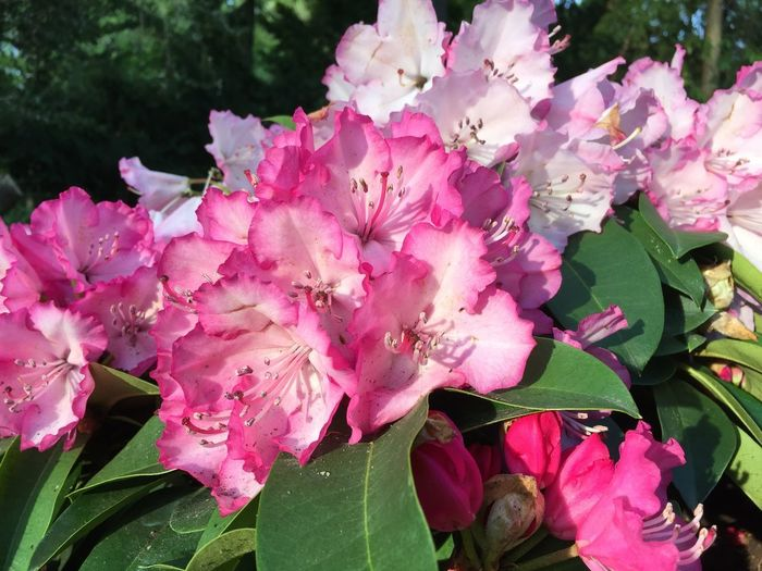 Rhododendron,Ger
