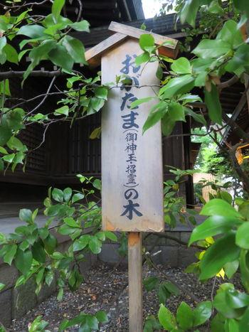 氷川神社 で見つけた おがたまの木 。別名 バナナツリー っていうくらい独特な甘い香がします。神社に行ったら探してみましょう!