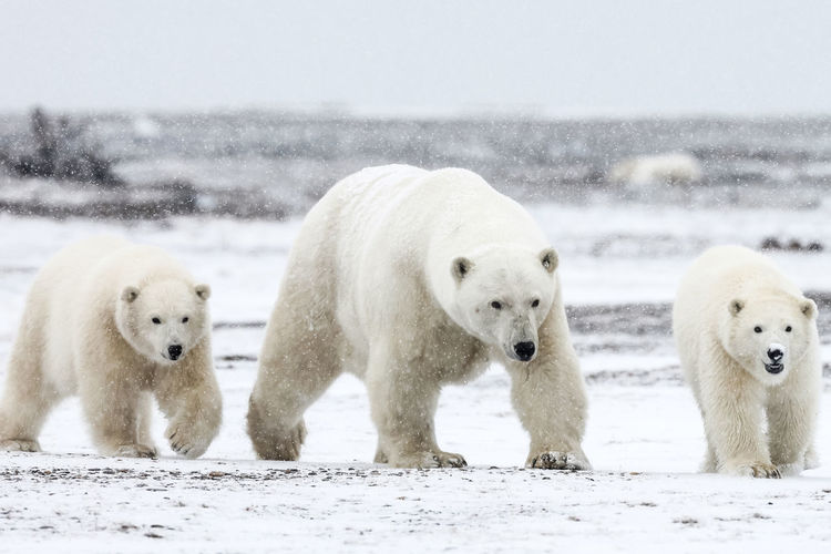 Polar bear walking with young ones during snowfall