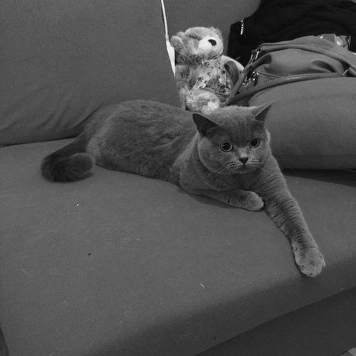 Kitty First Eyeem Photo British Shorthair Blue Cat