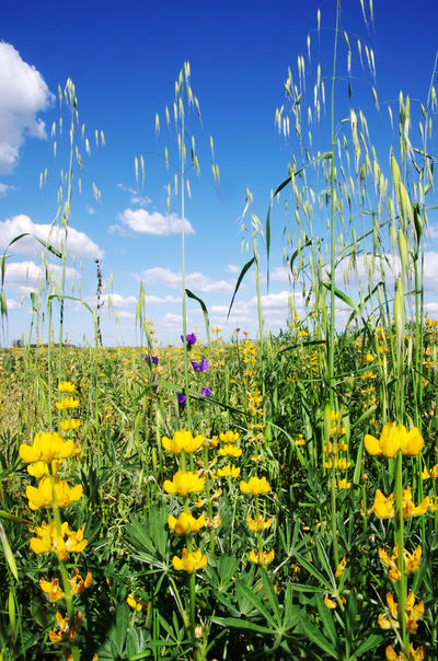 yellow wild flowers agaisnt cloud sky Agriculture Beauty In Nature Cloud - Sky Field Flower Flower Head Flowerbed Flowering Plant Freshness Growth Landscape Nature Plant Rural Scene Sky Yellow