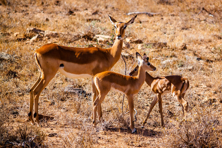 Africa Animal Themes Antelope Beauty In Nature Brown Day Field Grass Grazing Herbivorous Landscape Livestock Mammal National Park Nature Nature No People Non-urban Scene Outdoors Safari Safari Animals Tranquility Tsavo Water Wild Animal