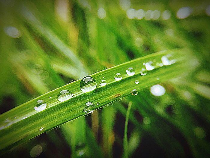 Drop Green Color Close-up Selective Focus Blade Of Grass