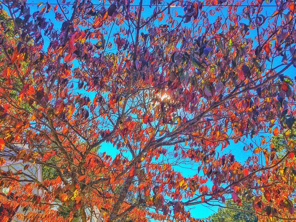 Sunlight through my dogwood.... Tree Low Angle View Nature Full Frame No People Branch Backgrounds Growth Multi Colored Day Beauty In Nature Outdoors Sky Foliage New England  Connecticut Dogwood Leaves Sunlight Red Crimson Orange Green Autumn Autumn Leaves