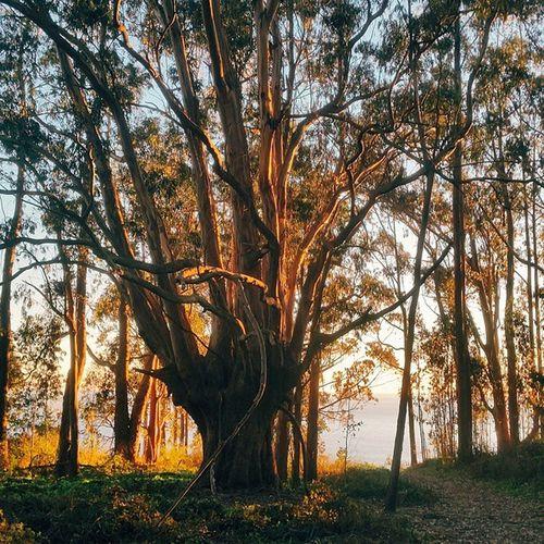 """I'm a tree that grows hearts, one for each that you take."" Pointreyesnationalseashore Pointreyes Marin Bolinas alamerefalls palomarin eucalyptus coasttrail california hiking"