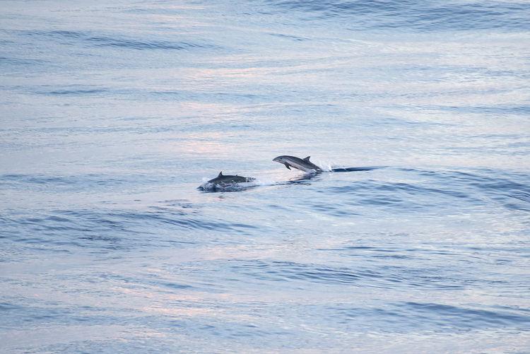 Dolphins Dolphin Animal Wildlife Nature Sea Calm Jump Dusk Wave Blue