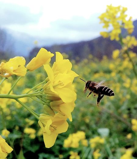 HoneyBee and flower Nectar HoneyBee Flower Pollination Spring Crop Field Mustard_flower Photooftheday Photography Nature_colourfull Valley_Kashmir EyeEm LOST IN London EyeEm Selects The Week On EyeEm