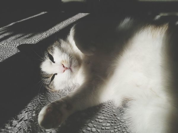 Kitty cat Pet Ninus Cat Lovely