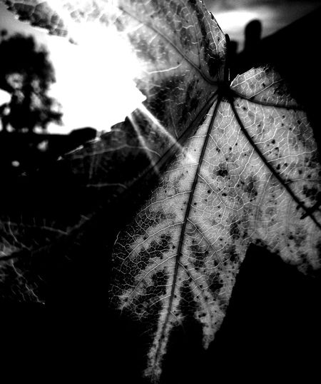 No People Close-up Nature Blackandwhite Nature Photography Scenic Photograghy Black And White Collection  Autumn Monochrome Photography BW_photography Beauty In Nature EyeEm Black And White Dark Photography Leaves_collection Silhouette Leaf Photography Sunlight Lights Effects Leaf 🍂 Leaves 🍁 Day Outdoors Monochrome_Photography Black And White Collection